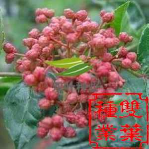 花椒嫁接步骤及图片