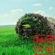 四季青草坪种子