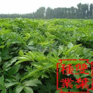 白芷图片 植物图片