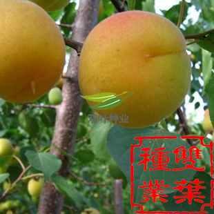 杏树裁剪步骤图