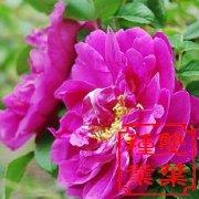 红刺玫种子