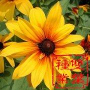 黑心菊种子
