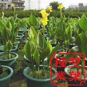 美人蕉在园林中的应用        美人蕉为多年生草本花卉,原产于美洲
