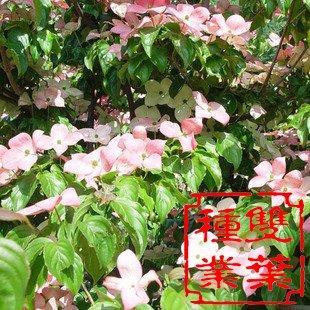 红枣树春天发芽时间