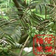 三尖杉种子