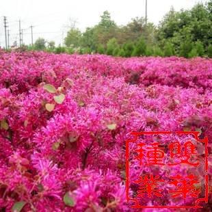 红花继木的种植技术