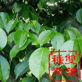 枫树枝条如何水培生根