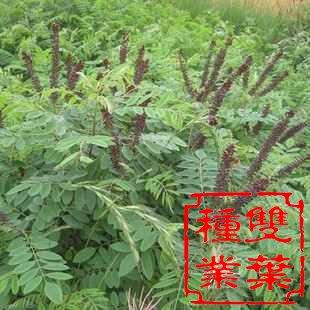 温汤铁皮石斛种植步骤