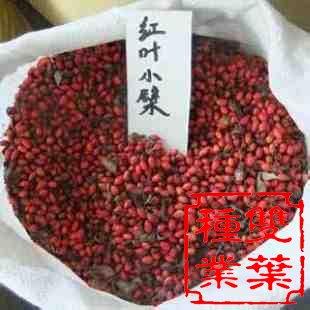 红叶小檗价格_红叶小檗种子,红叶小檗种子批发,红叶小檗种子价格_双叶种子公司
