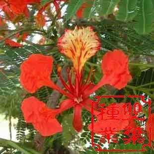 凤凰木是非洲马达加斯加共和国的国树,中国广东汕头市的