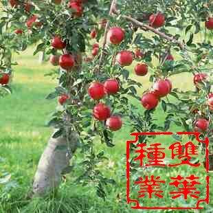 苹果叶横切手绘图