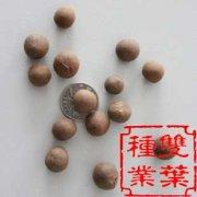 布迪椰子种子