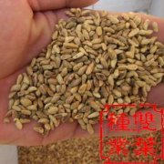 番石榴种子