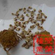 花环菊种子