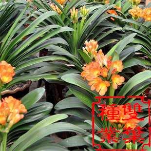 君子兰种子,君子兰种子批发,价格,公司_双叶种子公司图片