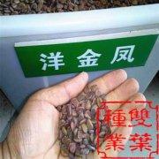 洋金凤种子