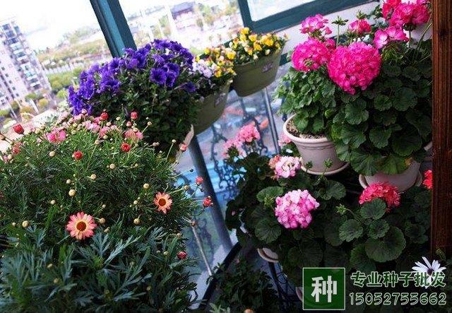 阳台栽培花卉图片